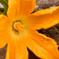 Coucou du dimanche et comment reconnaitre les fleurs des courgettes....